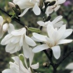 Magnolia Stellata 1 Tree 9cm Pot was £11.99, Now Only £9.99!