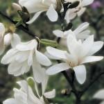 Magnolia Stellata 1 Tree 9cm Pot was £11.99, Now Only £9.99!