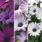 Osteospermum Regal Classic Collection 3 Plants 9cm Pot, just £9.98