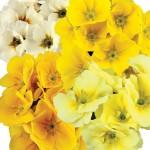 Primrose Sunshine 50 Ready Plants + 20 FREE, only £14.99!