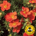 Potentilla Red Ace 1 Plant 9cm Pot was £7.99, Now Only £5.99!