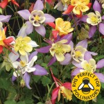Aquilegia Mrs Scott Elliot 12 Large Plants, Only £9.99