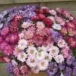 Aster Bright Sparks 12 Mega Plants, just £10.99!