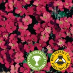 Aubretia Royal Red 12 Large Plants, just £9.99