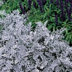 Cineraria Silver Dust 24 Large Plants, Only £12.99!
