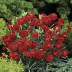 Carnation Can Can 6 Jumbo Ready Plants, just £9.99!