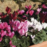 Mini Cyclamen Patio Collection 6 Jumbo Ready Plants, just £9.99!