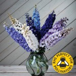 Delphinium Magic Fountain Dwarf 12 Jumbo Ready Plants , only £9.99