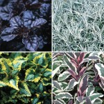 Autumn Foliage/Filler Collection 6 Jumbo Ready Plants, just £9.99!