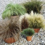 Coloured Grass Collection 12 Jumbo Ready Plants, only £9.99