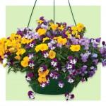 Viola Ochre 1 Pre-Planted Hanging Basket, just £12.99!