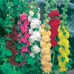 Hollyhock Mix 12 Jumbo Ready Plants , only £9.99
