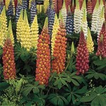 Lupin Gallery Dwarf 12 Jumbo Ready Plants, only £9.99