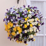 Pansy Cool Wave 6 Jumbo Ready Plants, just £9.99!