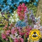 Penstemon Magical Mix 12 Large Plants, just £9.99
