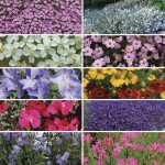 Perennial Prism 12 Mega Plants, just £10.99!