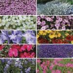 Perennial Prism 12 Mega Plants, just £10.99!