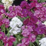 Stock Autumn Fragrance 24 Jumbo Plants, only £12.99!