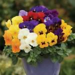 Viola Colourburst 12 Mega Plants, just £10.99!