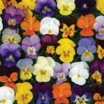 Viola Valentino 24 Large Plants, Only £12.99!