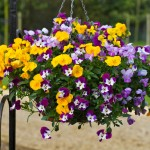 Viola Ochre (Trailing) 24 Jumbo Plants, only £12.99!