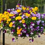 Viola Ochre (Trailing) 24 Jumbo Plants, only £12.99!