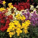 NEW Variety: Wallflower Wizard 24 Jumbo Plants, only £11.99!
