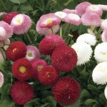 Bellis Belle 12 Mega Plants, only £10.99!