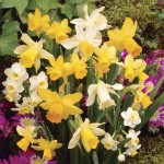 Daffodil Dwarf Collection 50 Bulbs, only £14.99