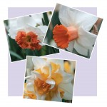 NEW! Daffodil Perfect Peaches & Whites Collection 15 Bulbs only £10.99!