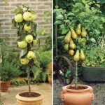 Apple Golden Delicious & Pear Conference 2 Patio Trees 9cm Pots, Only £19.99!