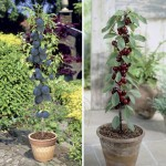 Cherry Sylvia & Plum Black Amber 2 Patio Fruit Trees 9cm Pots, Only £19.99!