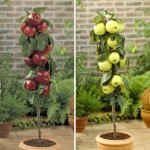 Golden Delicious & Braeburn 2 Patio Apple Trees 9cm Pots, only £19.99!