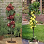 Apple Braeburn and Pear Doyenne du Comice 2 Patio Trees 9cm Pot, just £19.99!