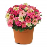 Hardy Petunia Autumn Leaves 2 Pre-Planted Containers just £19.98!