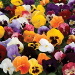 Pansy Colourburst 12 Mega Plants, only £10.99!