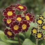 Polyanthus Gold Lace 12 Mega Plants, only £10.99!
