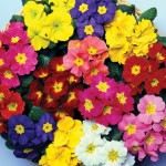 Primrose Harlequin 12 Mega Plants, only £10.99!