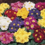 Primrose Rainbow 100 Plug Plants + 70 FREE, only £16.99