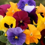 Pansy Grande Fragrance 100 Plug Plants + 70 FREE, only £14.99