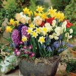Spring Bulb Collection 60 Bulbs, only £13.99