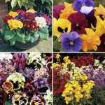 18 Large Plants + 6 FREE Pansies + FREE Plant Food, just £9.99!