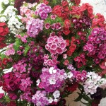 NEW! Sweet William Vesuvio 100 Plug Plants + 70 FREE, only £15.99