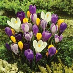 Spring Flowering Crocus Collection 50 Bulbs, only £10.99!