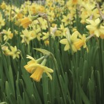 Daffodil Tete a Te 50 Bulbs only £11.99!