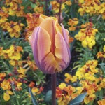Tulip Prinses 20 Bulbs, only £10.99!