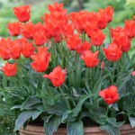 Tulip Red Riding Hood 20 Bulbs only £9.99!