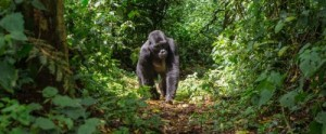 TTGOR_Hero_Uganda_Gorilla_the_hub