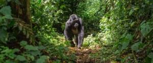 TTGOR_Hero_Uganda_Gorilla_the_hub