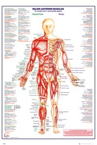 Poster sale - Human Body